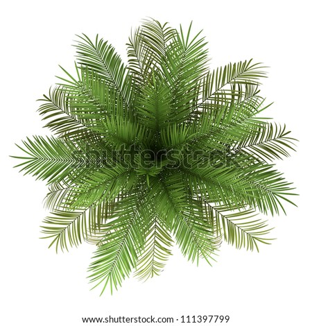 top view of date palm tree isolated on white background - stock photo