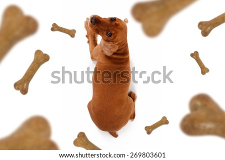 Top view of dog food treats falling, dropping down, cocker looking, isolated on white background. - stock photo