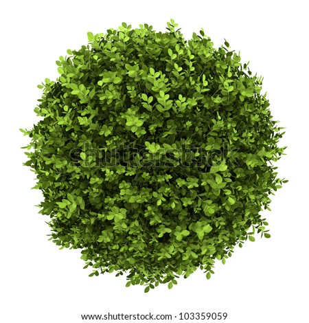 top view of dwarf english boxwood isolated on white background - stock photo