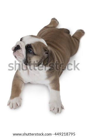 Top view of English Bulldog puppy isolated on white background