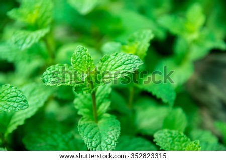 Top view of freshly mint. - stock photo
