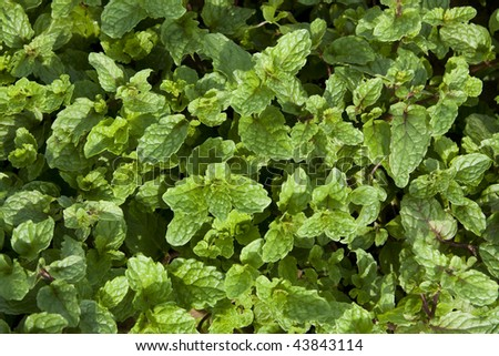 top view of freshly mint - stock photo