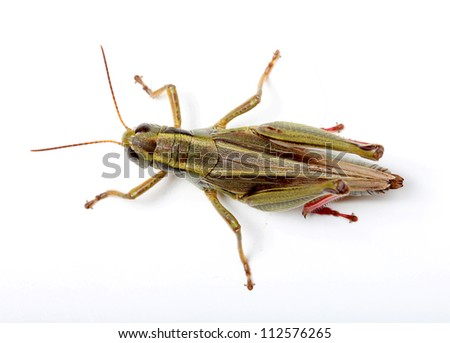 top view of grasshopper isolated on white background - stock photo