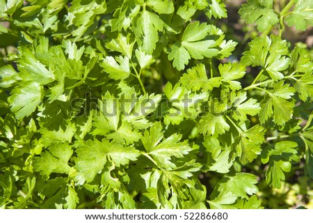 top view of green parsley as good background