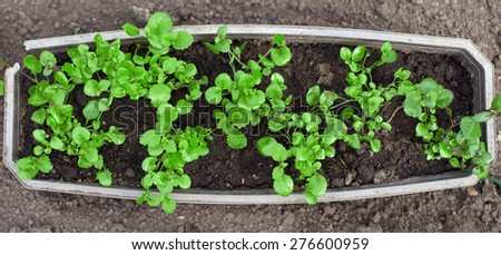 Top view of green young seedlings in container. - stock photo