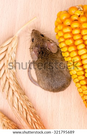 Top view of house mouse (Mus musculus) along wheat and corn seeds on wooden background - stock photo
