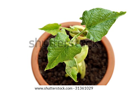 Top view of newly sprouted bean plant in clay pot as viewed from above.  Macro with shallow dof. Copy space included. - stock photo