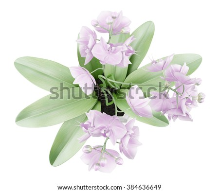 top view of orchid flowers in pot isolated on white background - stock photo