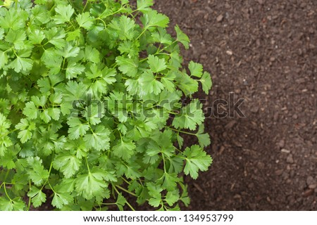 top view of parsley in soil - stock photo