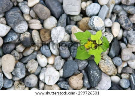 Top view of plant growth from stone or pebbles  background. Tranquil scene for meditation and healthy life. Close up and macro - stock photo