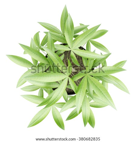 top view of potted money tree isolated on white background - stock photo