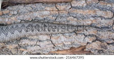 Top view of pregnant vipera latastei snake over tree bark - stock photo