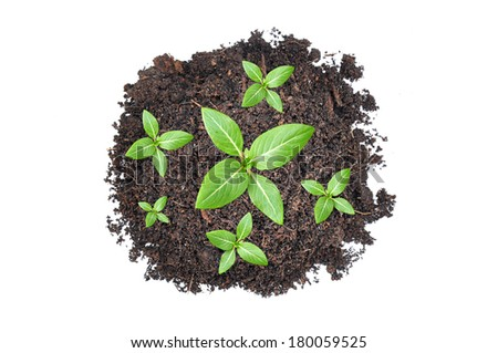 Top view of small green seedlings growing out from heap of soil  - stock photo
