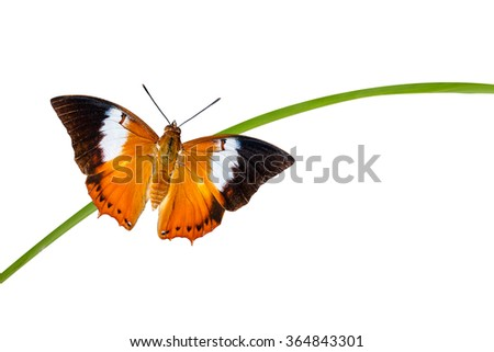 Top view of Tawny Rajah butterfly with clipping path - stock photo