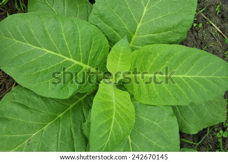 Top view of Tobacco in field - stock photo