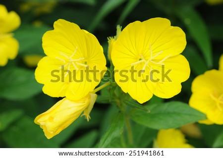 Top view of yellow primrose oenothera frutcosa flower in garden  - stock photo