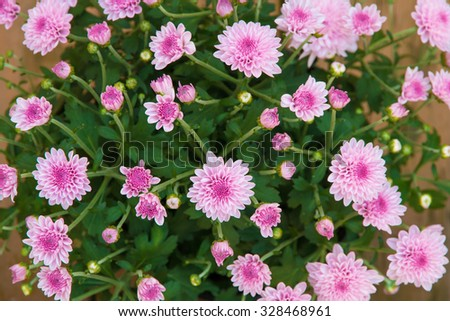 Top view pink mum flowers for natural background - stock photo