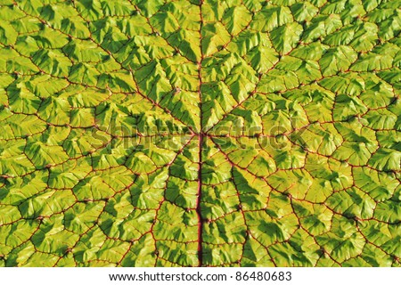 Top view surface of a Victoria Regia leaf, the world's largest leaves, of Amazonian water lilies - stock photo