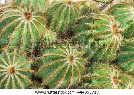 Top view. View from above. Filled full frame picture. A lot of Cactus Plants with yellow-white edges and thorns. Natural green geometrical pattern. Cactus in shape of ball. Different sizes. Sunny day. - stock photo