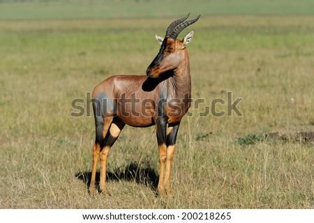 Topi Antelope (Damaliscus lunatus) in Kenya's Masai Mara Reserve - stock photo