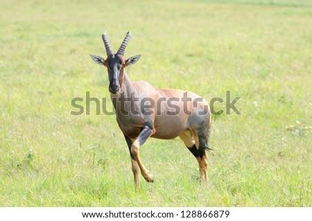 Topi Antelope in the Masai Mara Game Reserve in Kenya. - stock photo