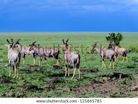 Topi antelope, Masai Mara, Kenya,africa - stock photo