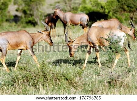 Topi antelopes in the green grassland - stock photo