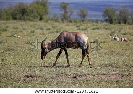 Topi (Blue jeans antelope) at Masai Mara National Park, Kenya - stock photo