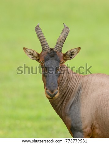 "Topi (scientific name: Damaliscus lunatus jimela or ""Nyamera"" in Swaheli) in the Serengeti National park, Tanzania"
