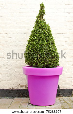 Topiary plant in a purple pot
