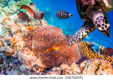 Topical saltwater fish ,clownfish - Anemonefish. Maldives - Ocean coral reef. Warning - authentic shooting underwater in challenging conditions. A little bit grain and maybe blurred. - stock photo