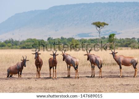 topis standing in a row in the savannah in kenya - national park masai mara - stock photo