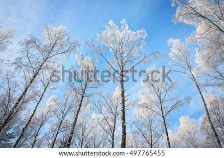 tops of birches all in white snow