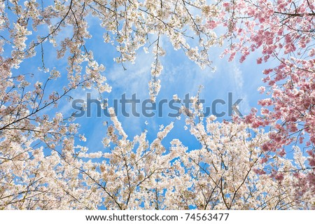 tops of the japanese cherry blossom trees in early april - stock photo