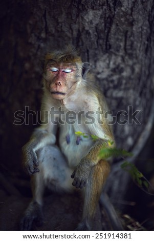 Toque macaque female napping leaning against the thick trunk