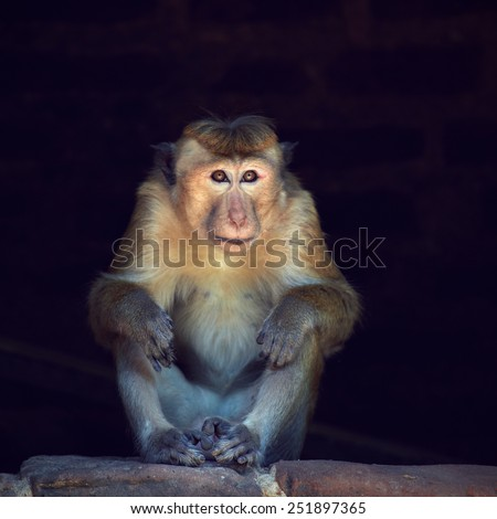 Toque macaque male sitting in a dark alcove in the church building