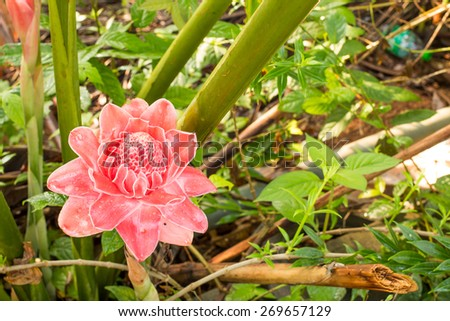 torch ginger against lush tropical growth - stock photo