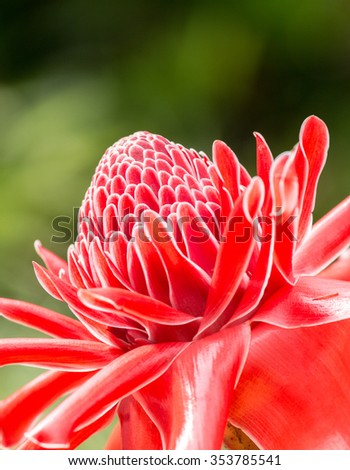 torch ginger, etlingera elatior flowers, red flowers - stock photo