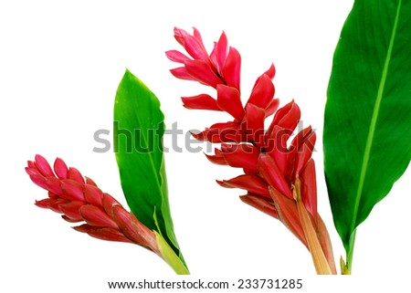 Torch Ginger red flower - stock photo