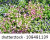 Torenia flower - stock photo