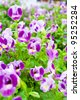 torenia flowers - stock photo