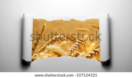 Torn paper with wheat - stock photo