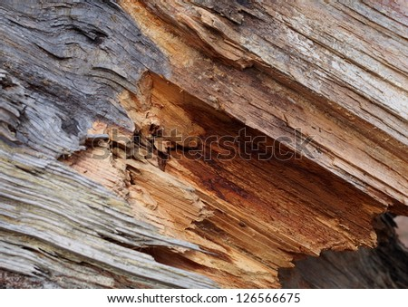 Torn pine tree closeup - stock photo