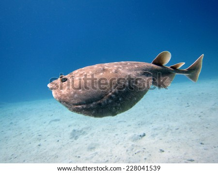 Torpedo electric ray swimming in open water - stock photo