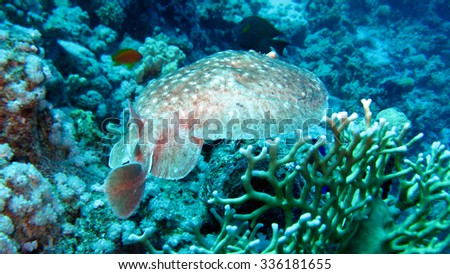 Torpedo Ray or Electric Ray, Indian Ocean - Kenya
