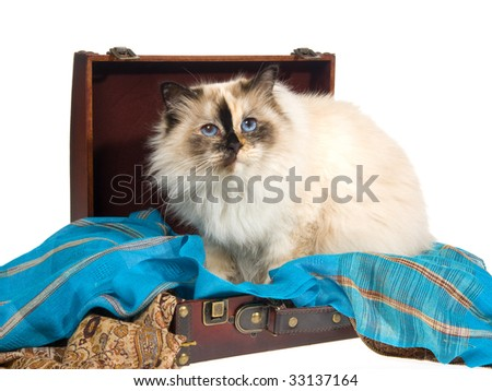 Tortie Birman sitting inside suitcase with blue cloth, on white background - stock photo