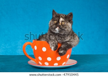 Tortie Exotic kitten inside large orange cup on blue background - stock photo