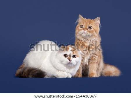 Tortoise and red scottish highland cats on dark blue background