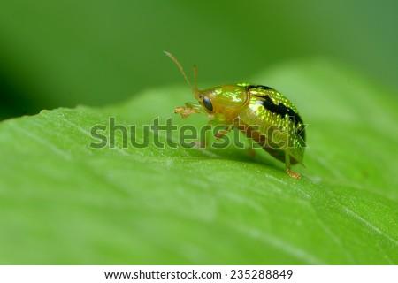 Tortoise Beetles - stock photo