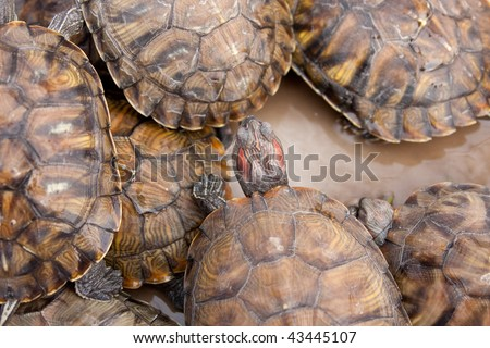 Tortoise breeding - just little turtle born near - stock photo